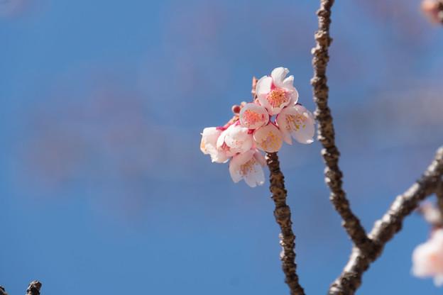 皇居東御苑【寒桜】3