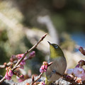 Photos: 新宿御苑【野鳥:メジロ】1