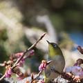 新宿御苑【野鳥:メジロ】1