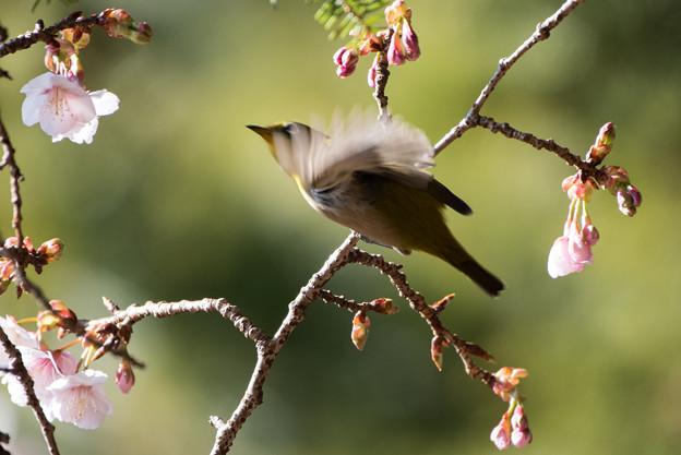 新宿御苑【野鳥:メジロ】5