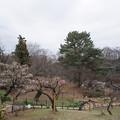 大倉山公園梅林【観梅会の眺め】4