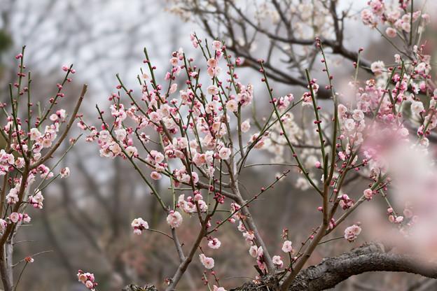 大倉山公園梅林【梅:八重旭】1