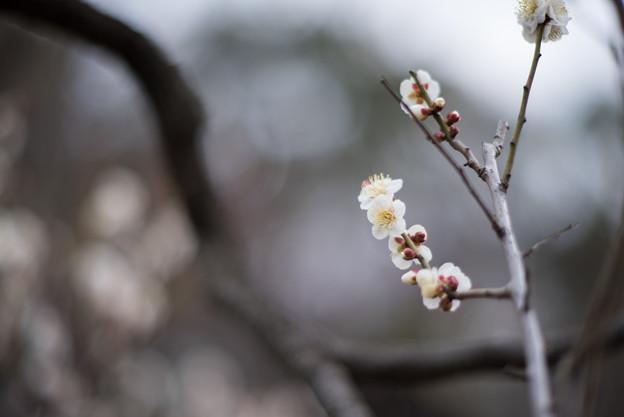 大倉山公園梅林【梅:野梅】1