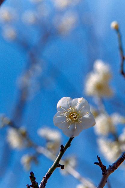 小田原FG【梅:一重緑萼】6銀塩写真