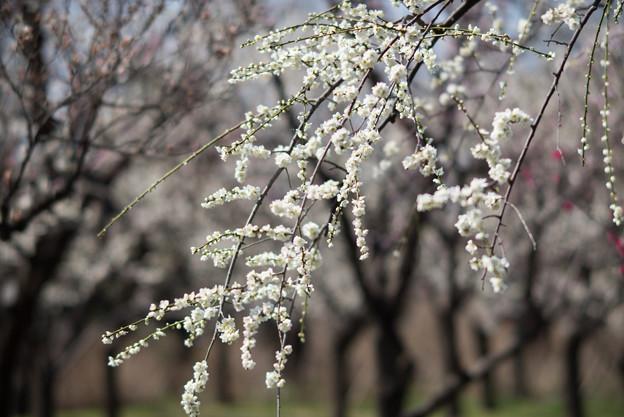 府中市郷土の森梅園【梅:月影枝垂】4
