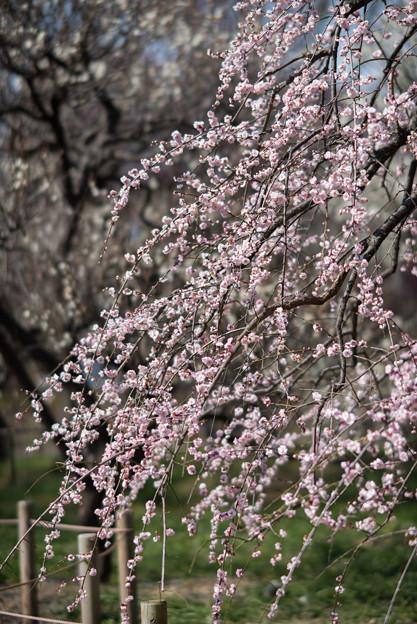 府中市郷土の森梅園【梅:藤牡丹枝垂】2