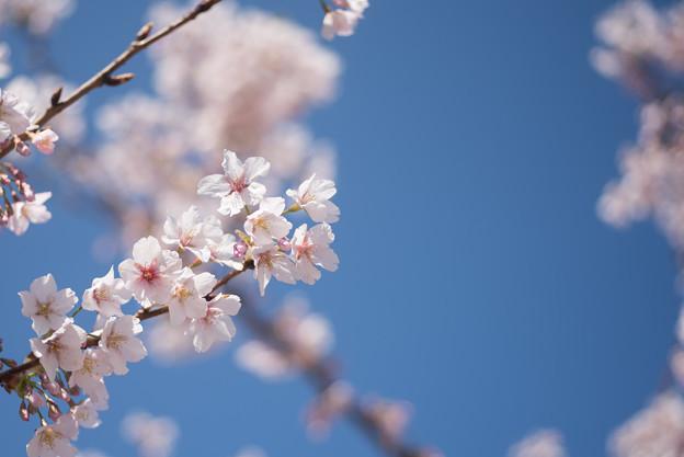 大船FC【桜:玉縄桜】5