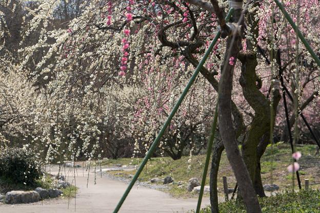 いなべ市梅林公園【満開の梅苑】9
