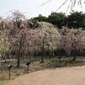 Photos: なばなの里【梅園:しだれ梅】1