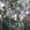 Photos: なばなの里【梅園:しだれ梅】6