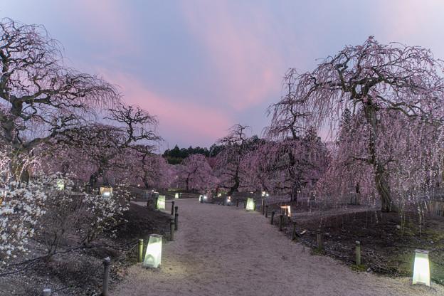 鈴鹿の森庭園【しだれ梅(ライトアップ)】1