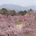 Photos: 鈴鹿の森庭園【しだれ梅(早朝)】1-6