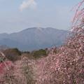 Photos: 鈴鹿の森庭園【しだれ梅(早朝)】1-7