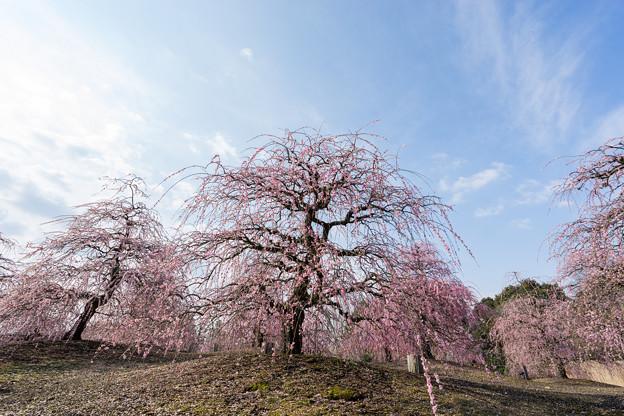 鈴鹿の森庭園【しだれ梅(早朝)】2-3