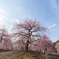 Photos: 鈴鹿の森庭園【しだれ梅(早朝)】2-3