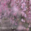 鈴鹿の森庭園【しだれ梅(早朝)】2-6
