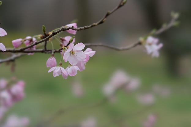 神代植物公園【桜:神代曙】1