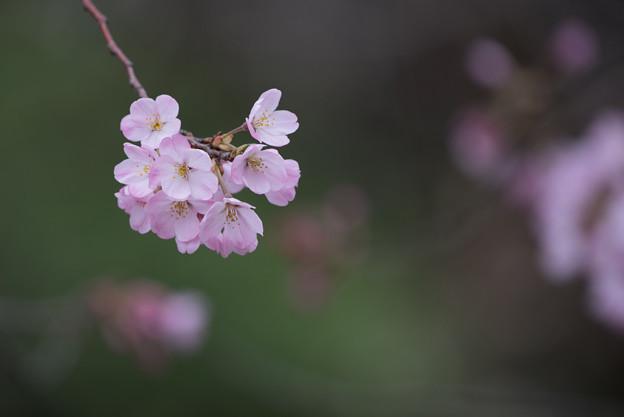 神代植物公園【桜:神代曙】2
