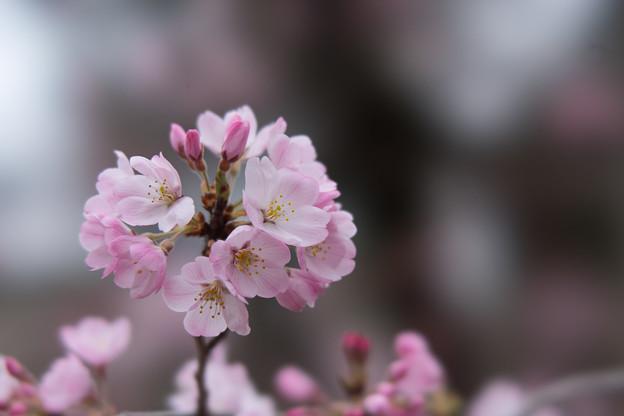 神代植物公園【桜:神代曙】4
