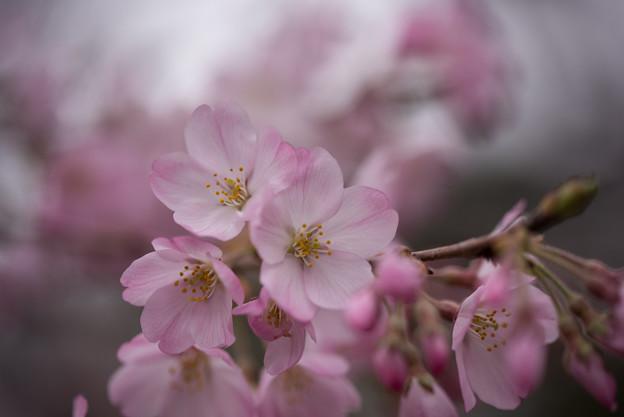 神代植物公園【桜:神代曙】5