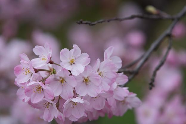 神代植物公園【桜:神代曙】6