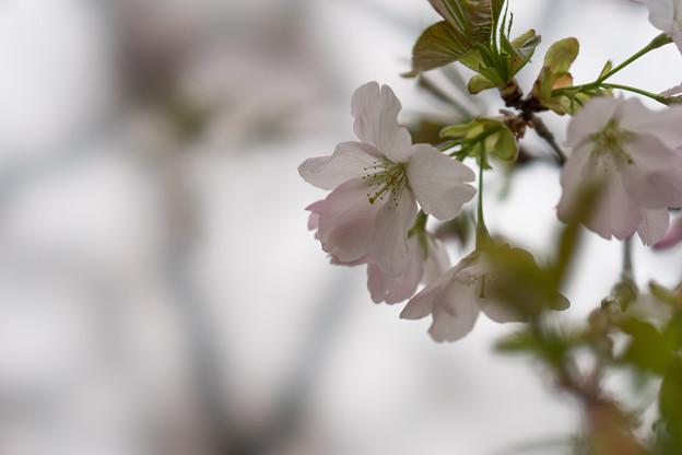 神代植物公園【桜:寒咲大島】3
