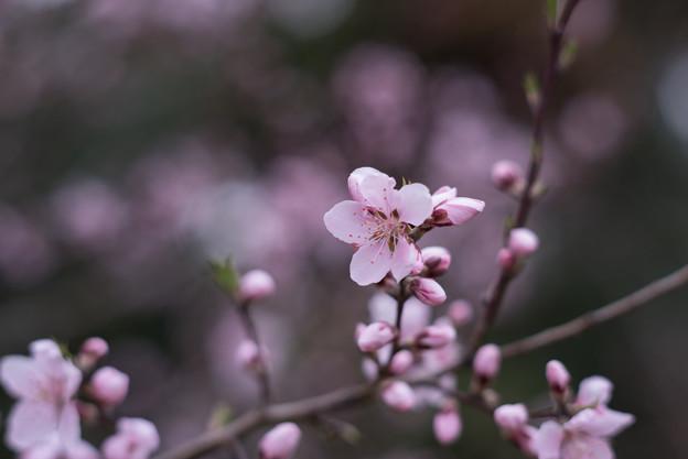 神代植物公園【アーモンド】1