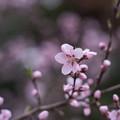 Photos: 神代植物公園【アーモンド】1