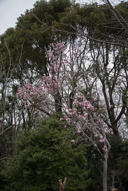 神代植物公園【モクレン】1