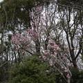 Photos: 神代植物公園【モクレン】1