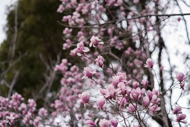 神代植物公園【モクレン】3