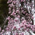 Photos: 神代植物公園【モクレン】3