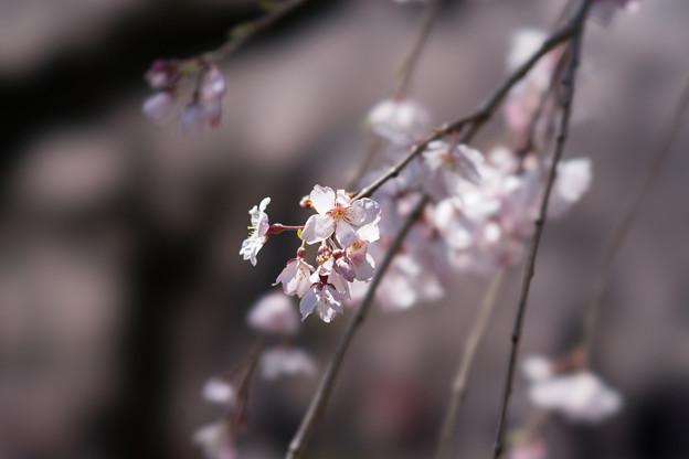 新宿御苑【サクラ:枝垂れ桜】1-6