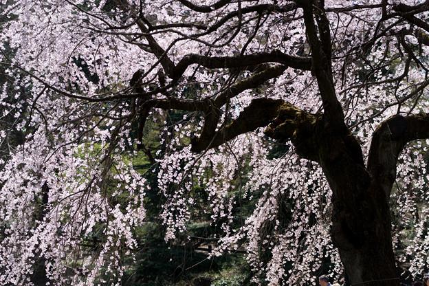 新宿御苑【サクラ:枝垂れ桜】2-6