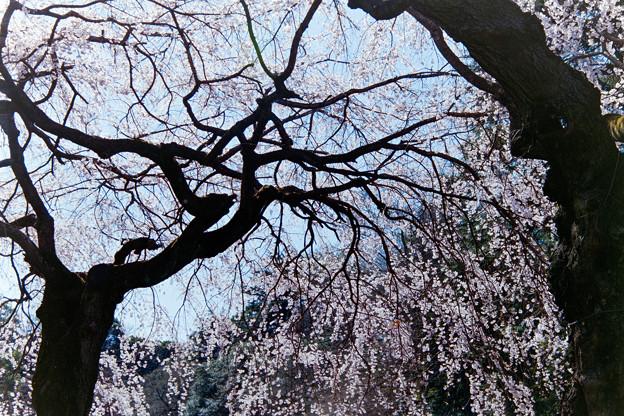 新宿御苑【サクラ:枝垂れ桜】銀塩_2