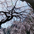 Photos: 新宿御苑【サクラ:枝垂れ桜】銀塩_2