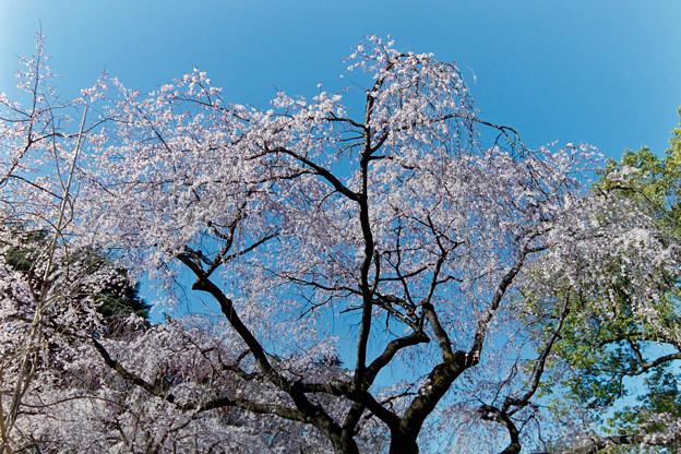 新宿御苑【サクラ:枝垂れ桜】銀塩_3