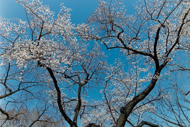 新宿御苑【サクラ:染井吉野】銀塩_1