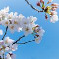 Photos: 新宿御苑【サクラ:染井吉野】銀塩_3