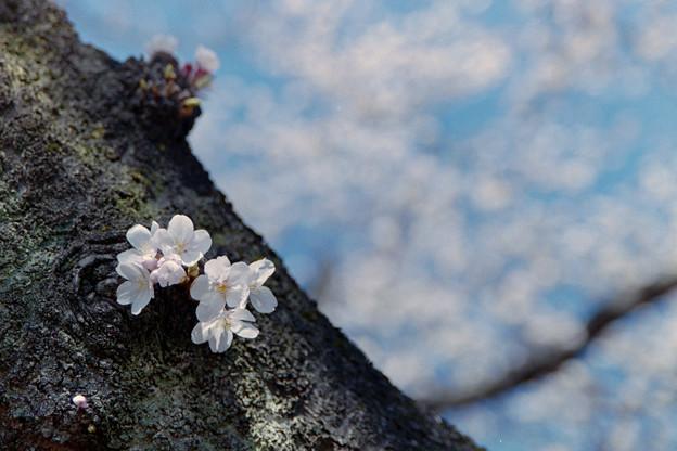 新宿御苑【サクラ:染井吉野】銀塩_6