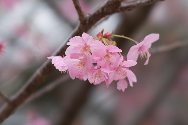 本牧山頂公園【サクラ:横浜緋桜】3