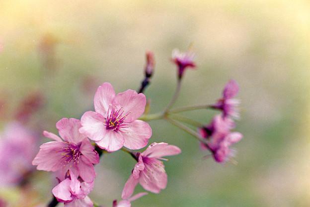 本牧山頂公園【サクラ:横浜緋桜】5銀塩