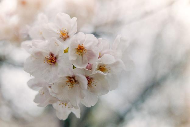 本牧山頂公園【サクラ:染井吉野】5銀塩