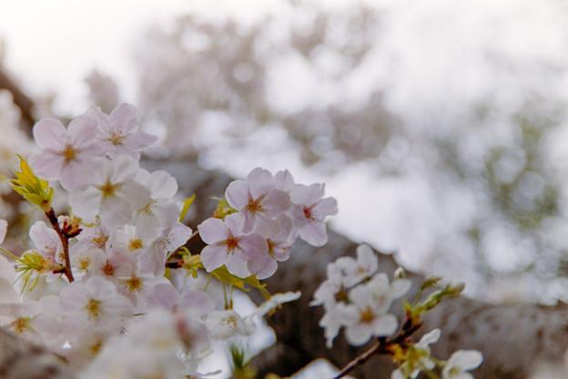 本牧山頂公園【サクラ:山桜】1銀塩
