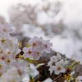 Photos: 本牧山頂公園【サクラ:山桜】1銀塩