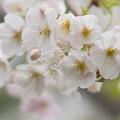 Photos: 本牧山頂公園【サクラ:山桜】4