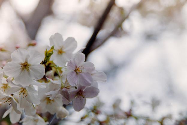 本牧山頂公園【サクラ:山桜】6銀塩