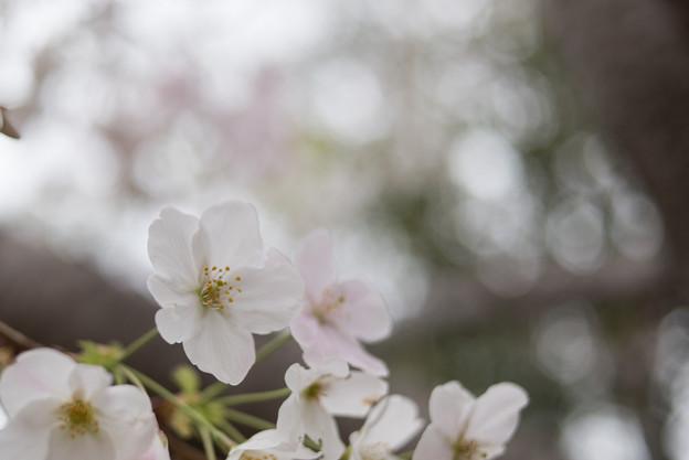 本牧山頂公園【サクラ:山桜】8