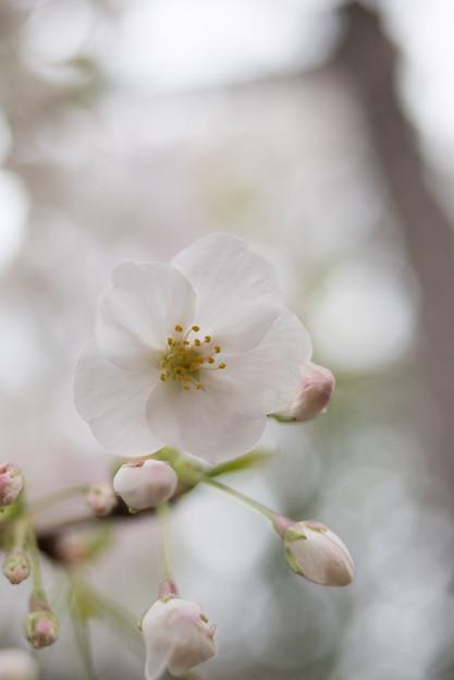 本牧山頂公園【サクラ:山桜】9