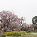 Photos: 高蔵寺【しだれ桜】1
